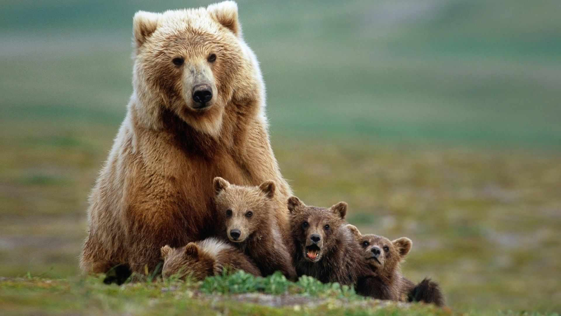 Res: 1920x1080, Animals  Full HD Wallpapers - 1080p Wallpapers | Full hd bear  family photo, wallpaper