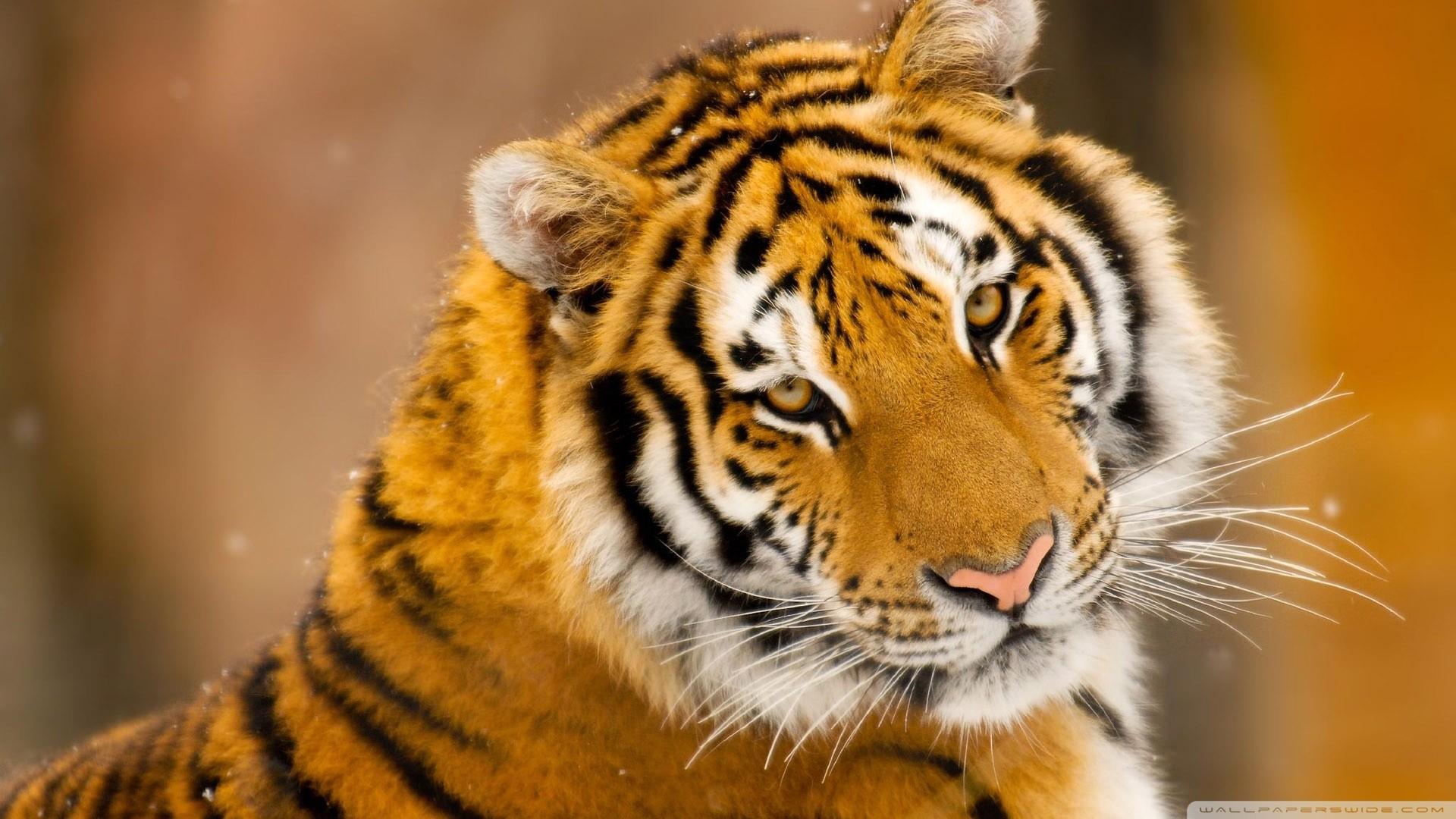 Res: 1920x1080, ... Siberian Tiger Wallpaper ...