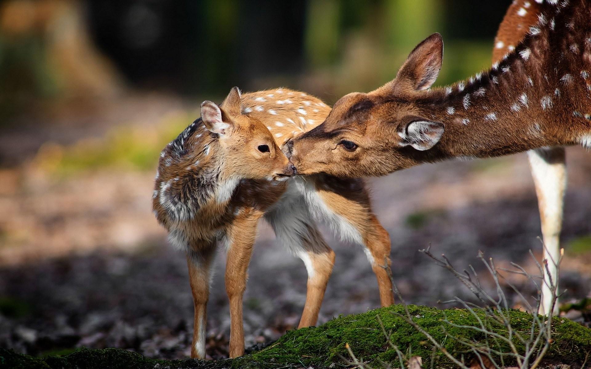 Res: 1920x1200, HD Wallpaper | Background Image ID:390950.  Animal Deer