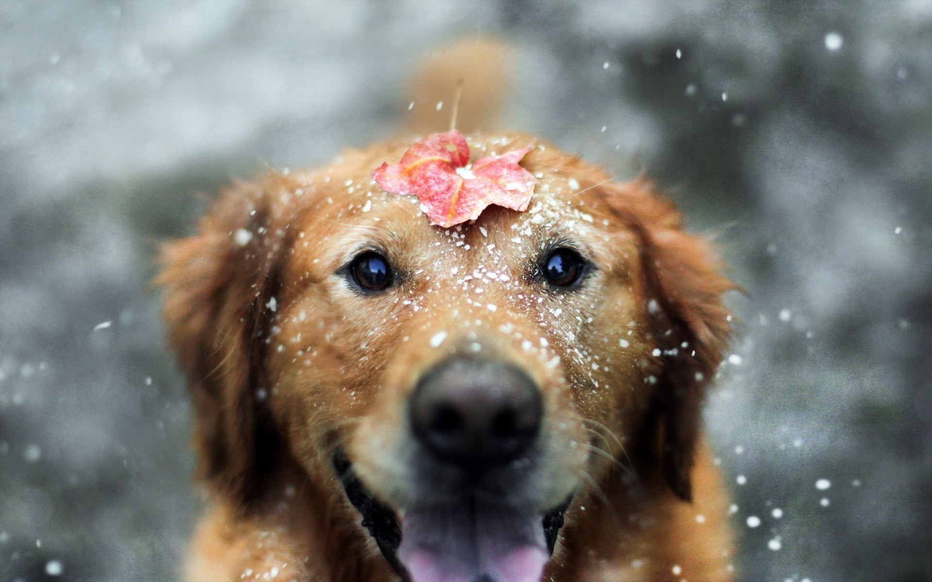 Res: 1920x1200, dog, Animals, Snow, Leaves, Fall, Labrador Retriever Wallpapers HD /  Desktop and Mobile Backgrounds