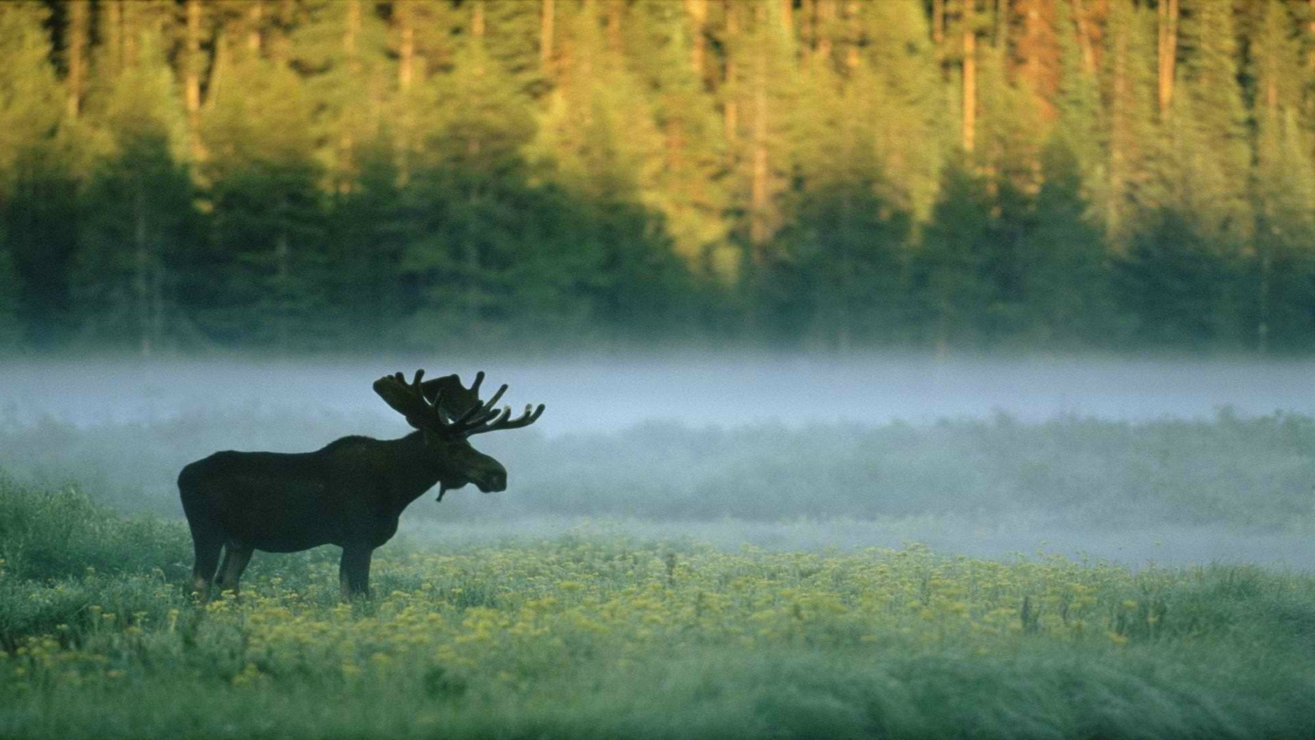 Res: 1920x1080, forest, Moose, Nature, Animals Wallpapers HD / Desktop and Mobile  Backgrounds