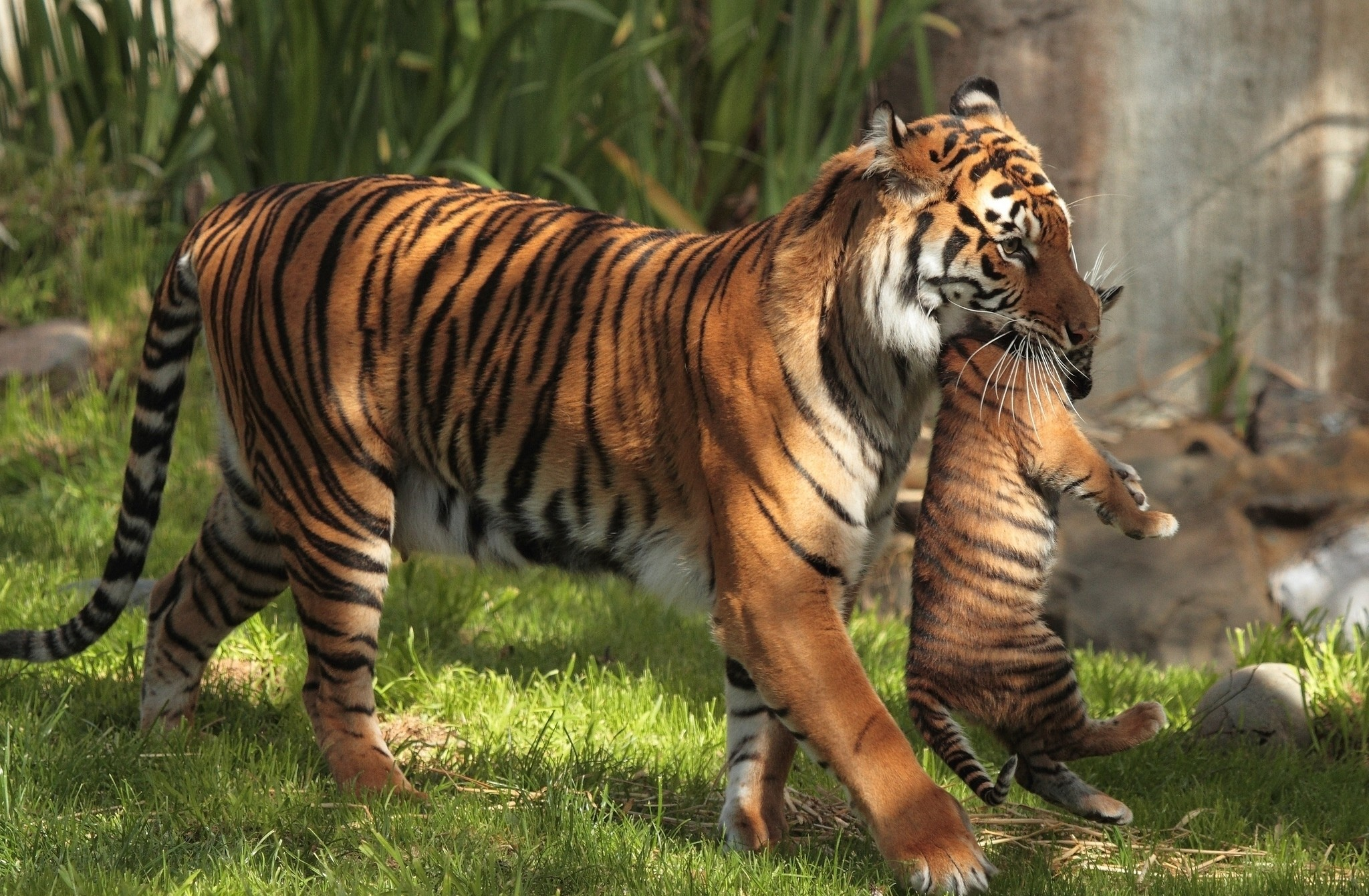Res: 2048x1341, HD Wallpaper | Background Image ID:427058.  Animal Tiger