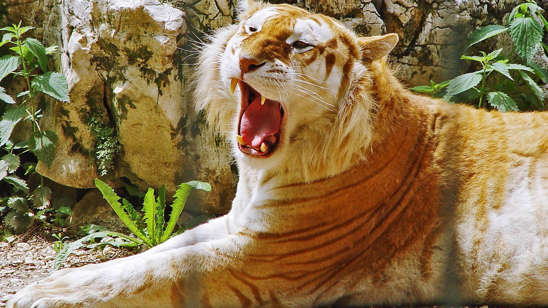 Res: 1920x1080, Golden Tiger Wallpaper Tigers Animals Wallpapers