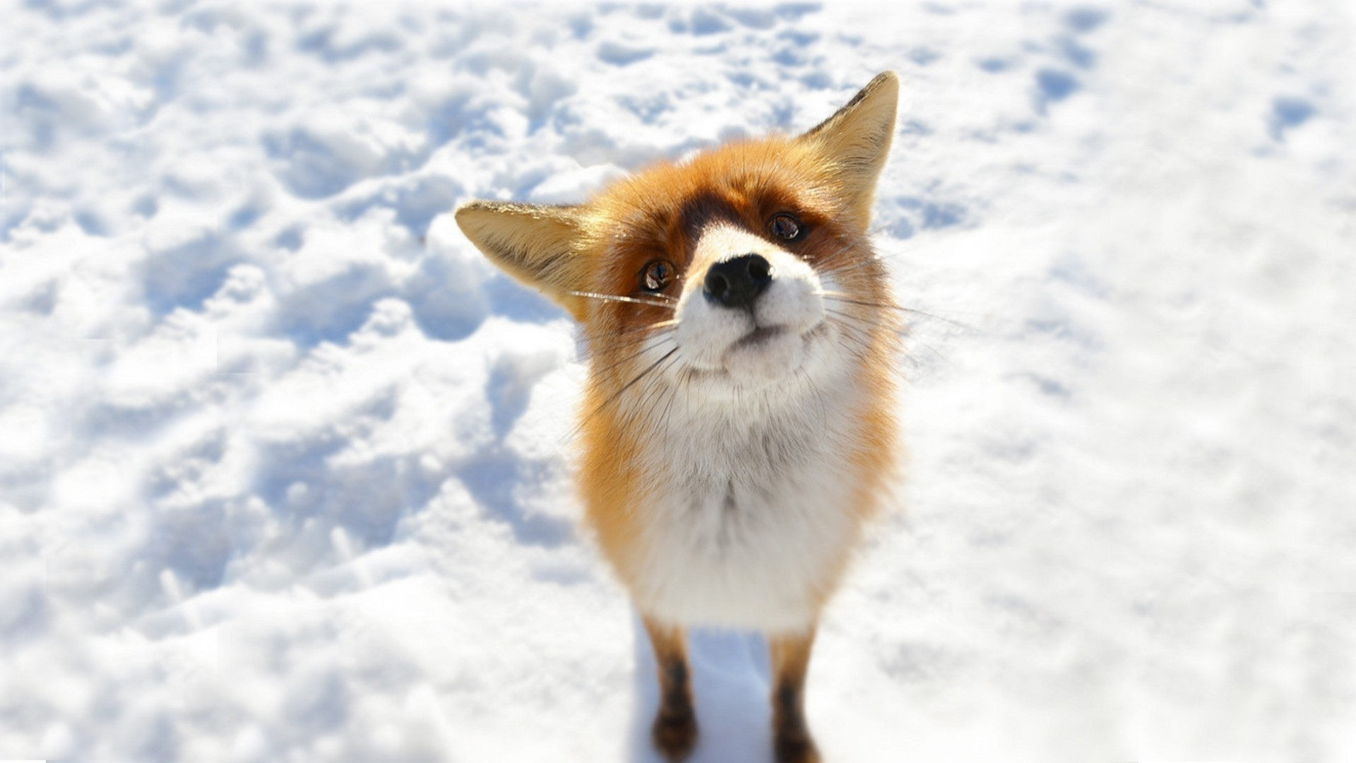 Res: 1920x1080, anime, Snow, Fox, Animals Wallpapers HD / Desktop and Mobile .