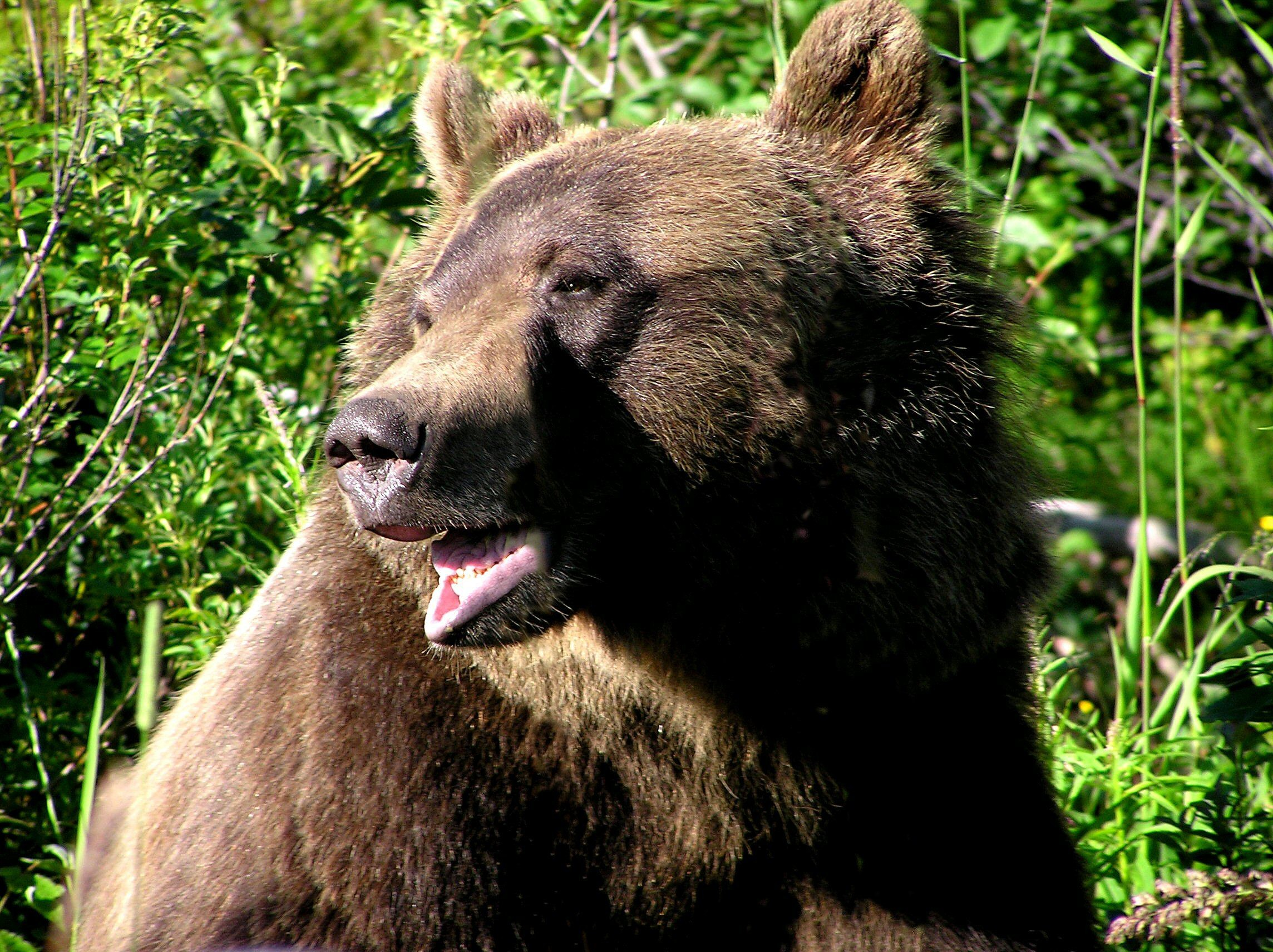 Res: 2288x1712, The photographs of brown bear, grizzly bears and black bears for your  computer desktop wallpaper