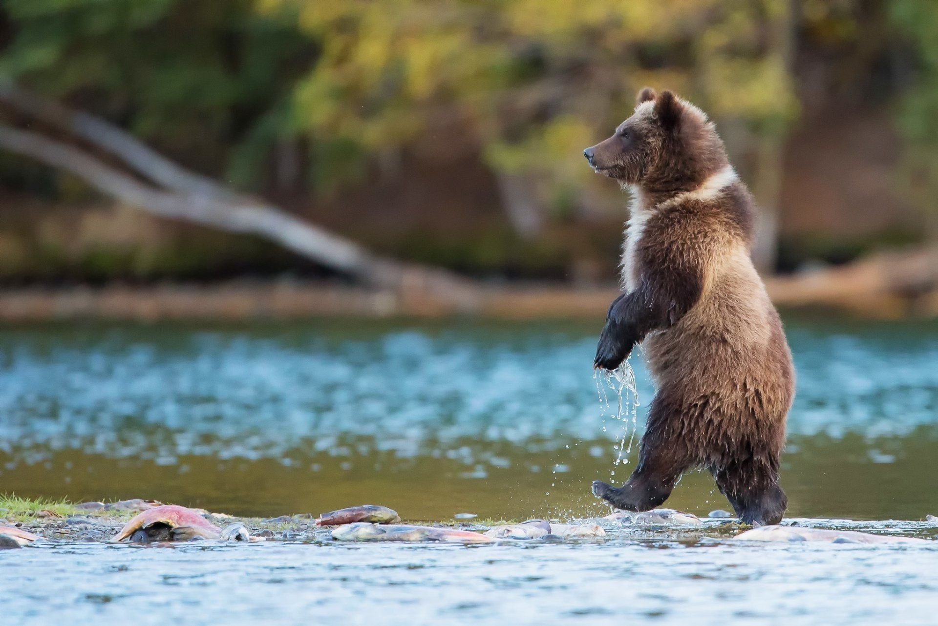 Res: 1920x1282, bear grizzly predator is canada river water fish nature