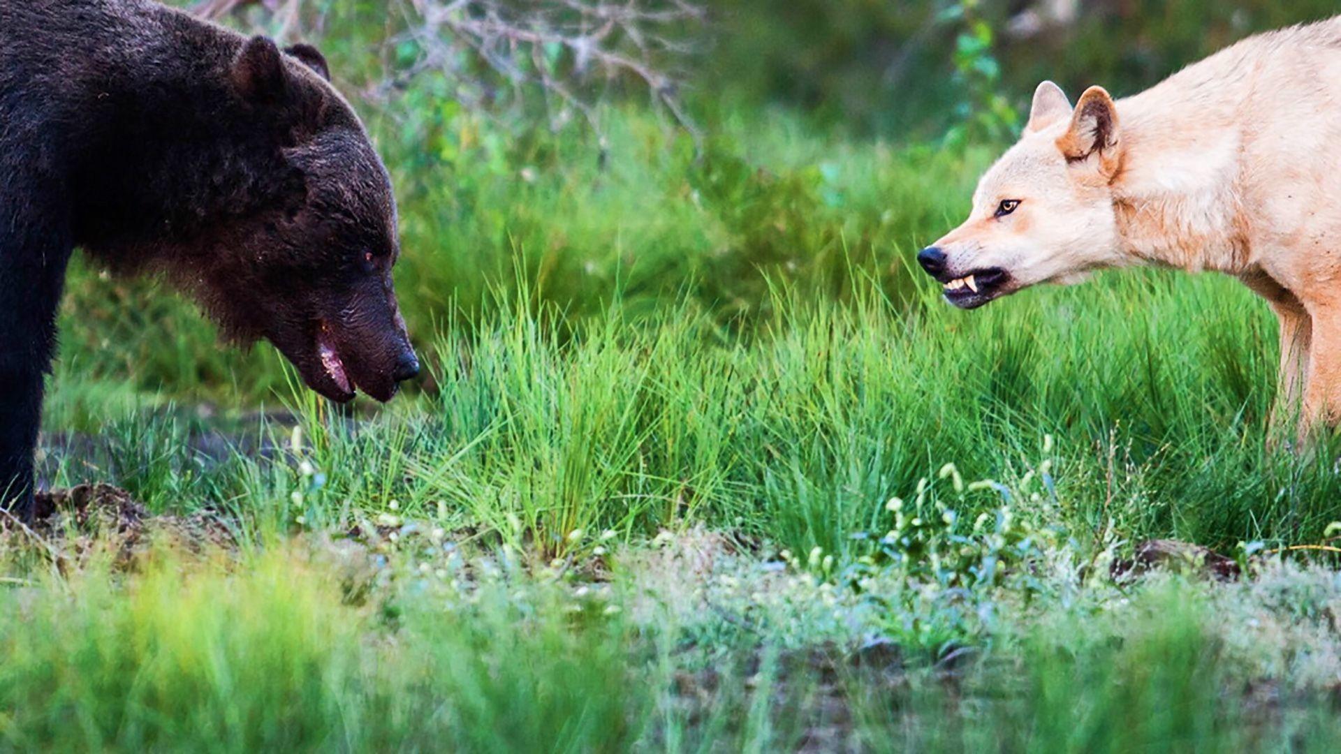 Res: 1920x1080, Bear Vs Wolf wallpaper