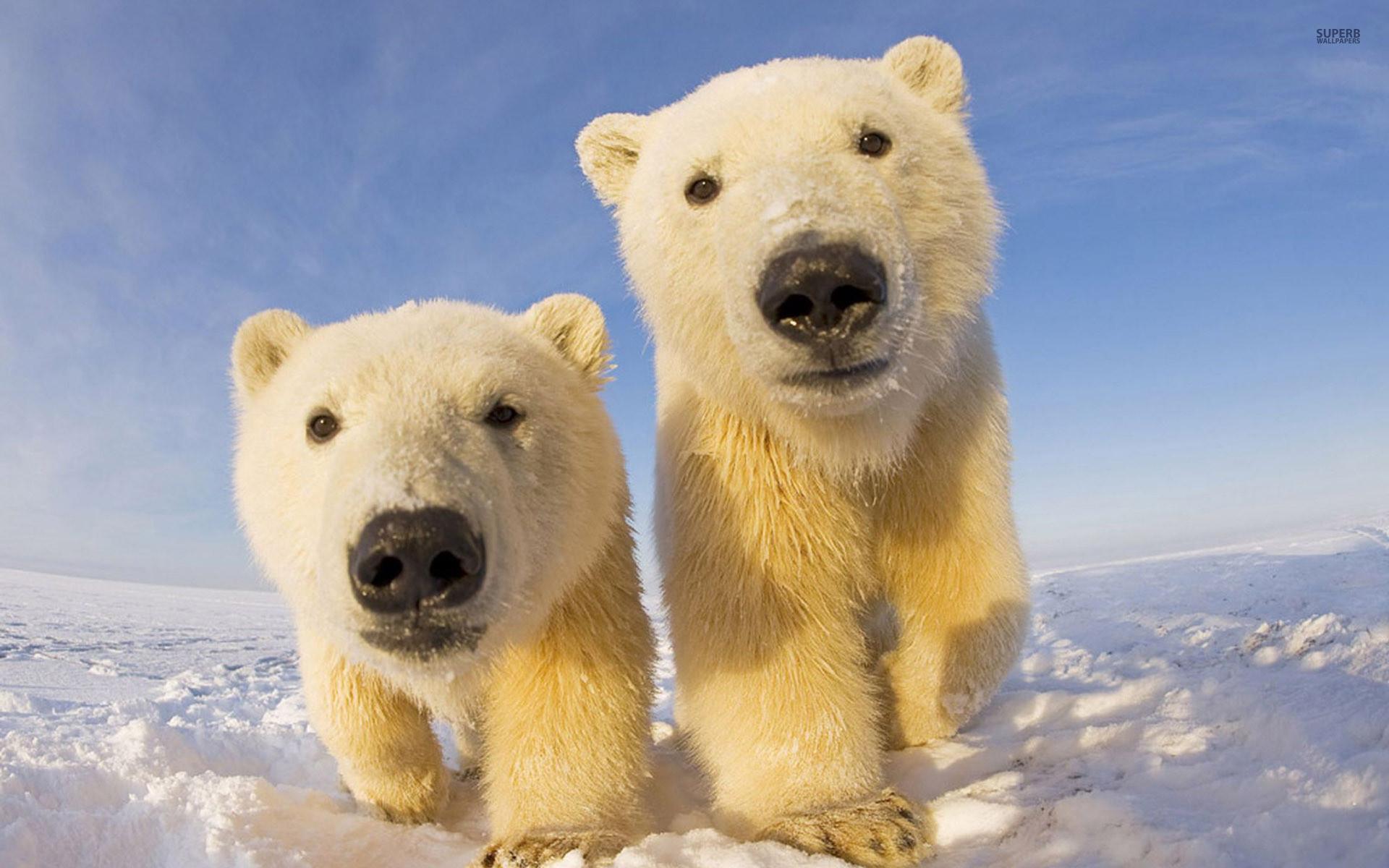 Res: 1920x1200, Polar Bear Wallpapers