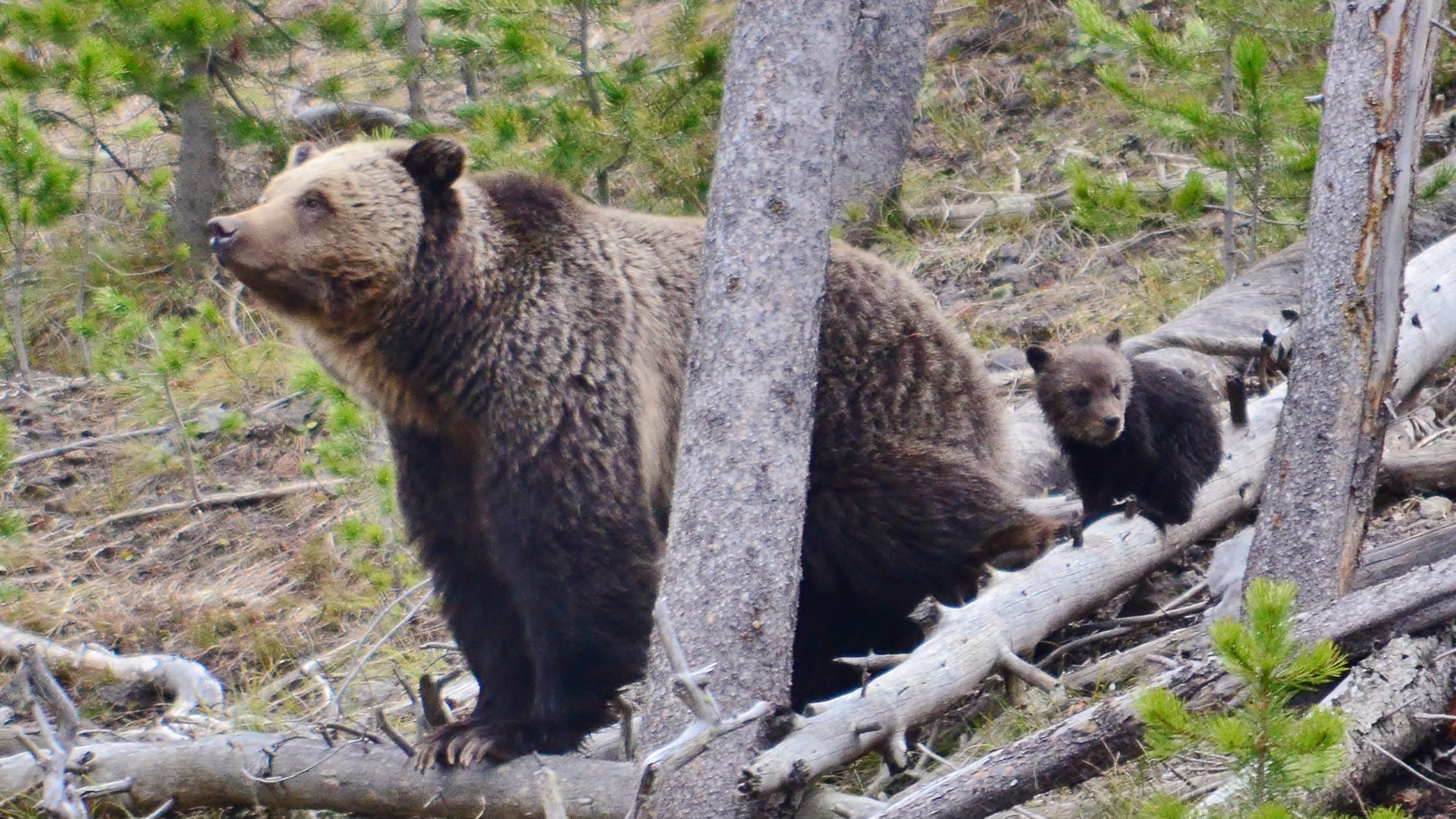 Res: 1920x1080, yellowstone grizzlies