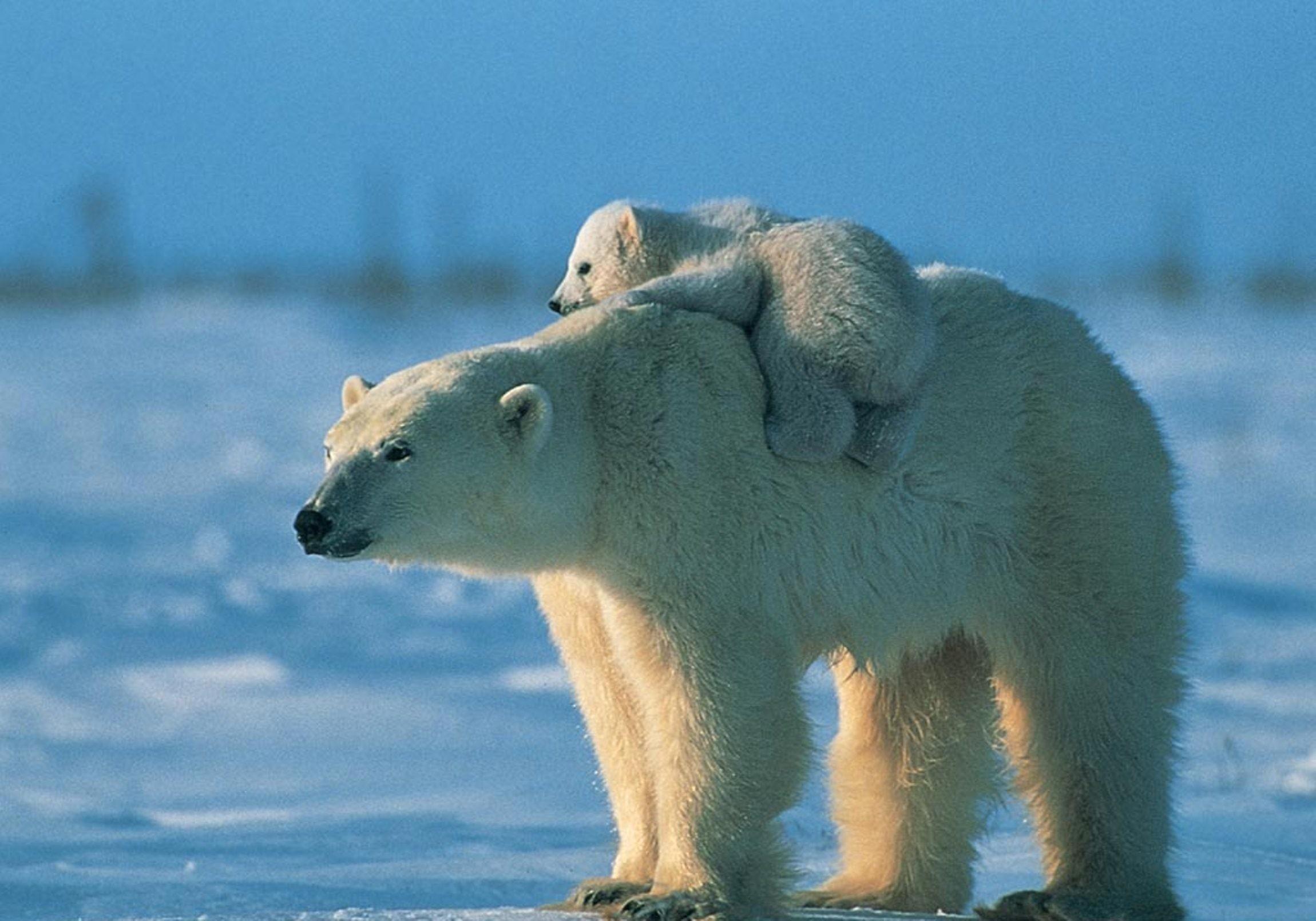 Res: 2300x1610, Polar Bear Wallpapers