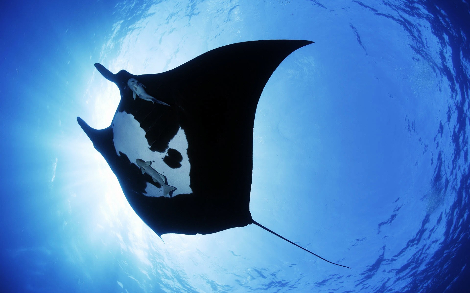Res: 1920x1200, Manta Ray Sea Creature