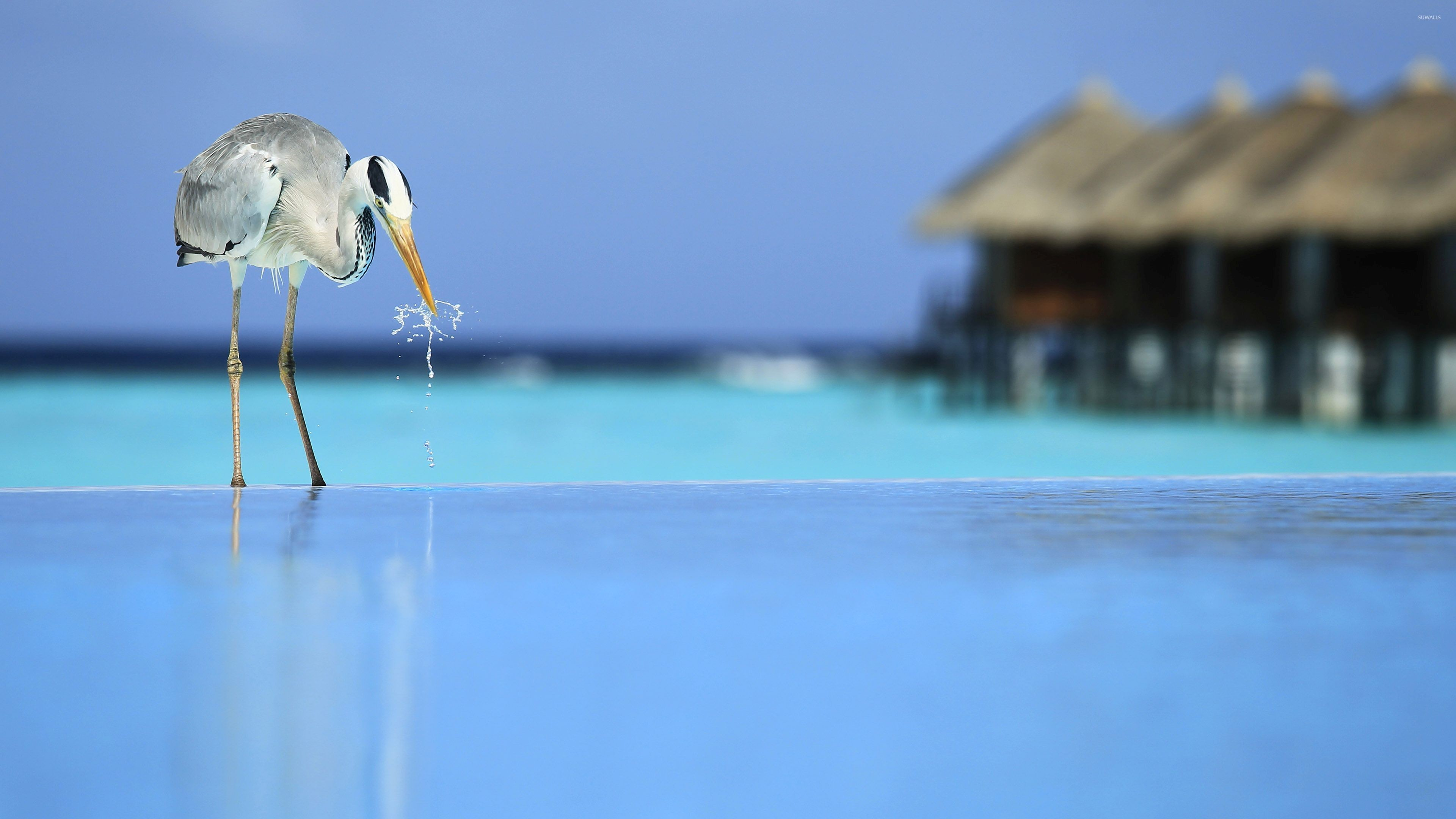 Res: 3840x2160, Bird drinking water from the pool wallpaper