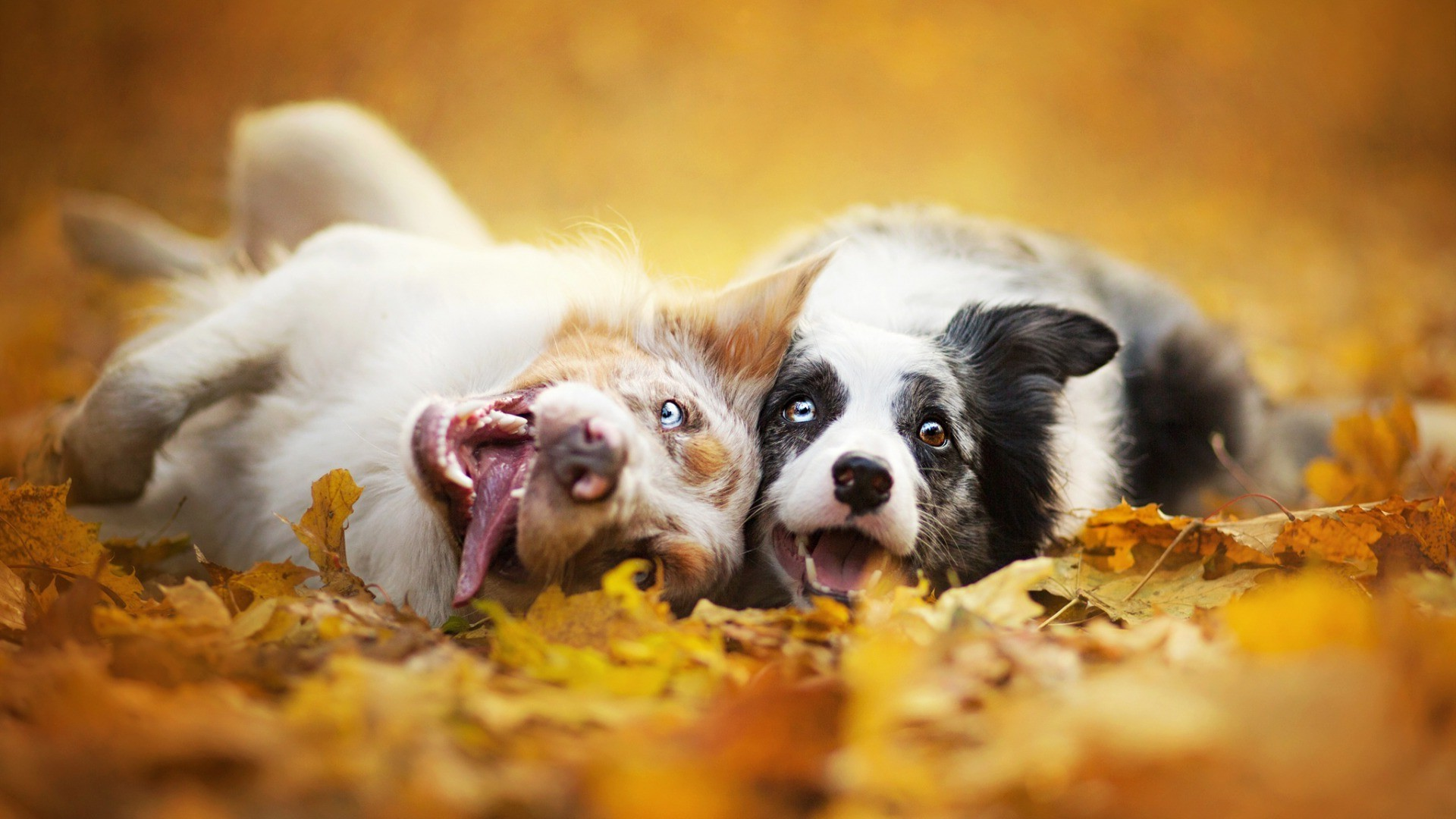 Res: 1920x1080, dog, Animals, Depth Of Field, Fall Wallpapers HD / Desktop and Mobile  Backgrounds