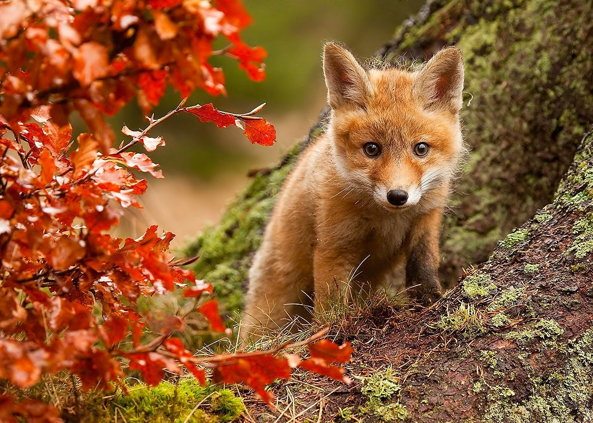 Res: 1920x1371, Nature fox fall leaves posture eyes wallpaper |  | 356324 |  WallpaperUP