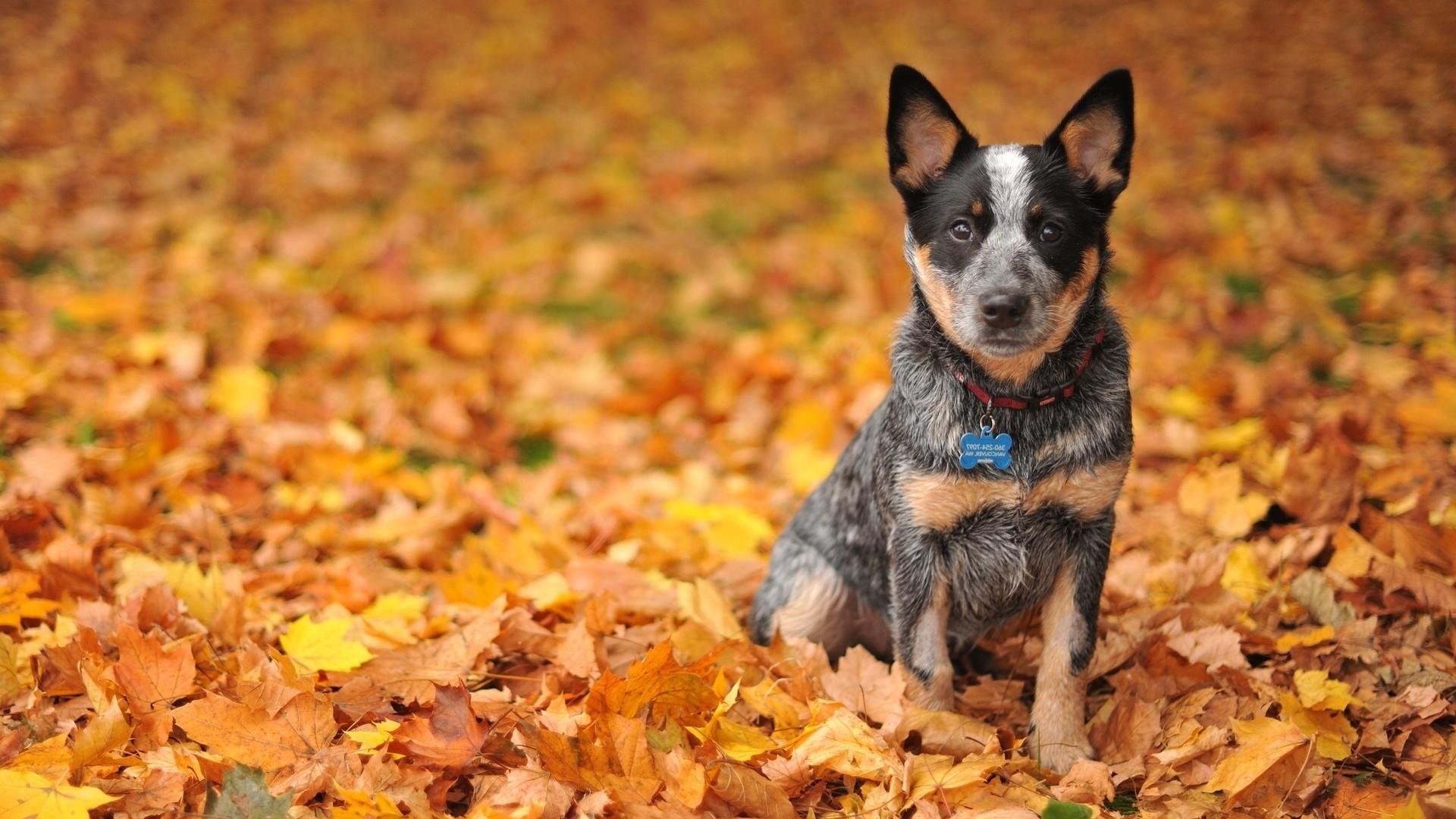 Res: 1920x1080, Australian shepherd puppy on the autumn leaves