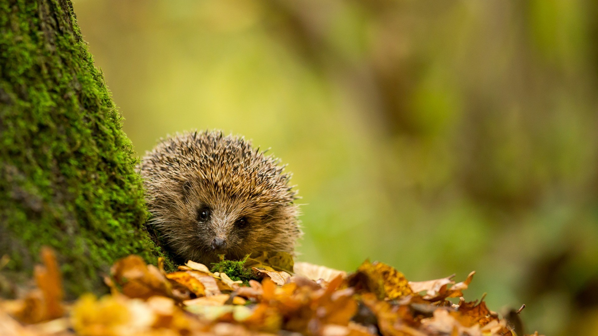 Res: 1920x1080, nature, Trees, Leaves, Branch, Animals, Hedgehog, Moss, Depth Of Field, Fall,  Closeup Wallpapers HD / Desktop and Mobile Backgrounds