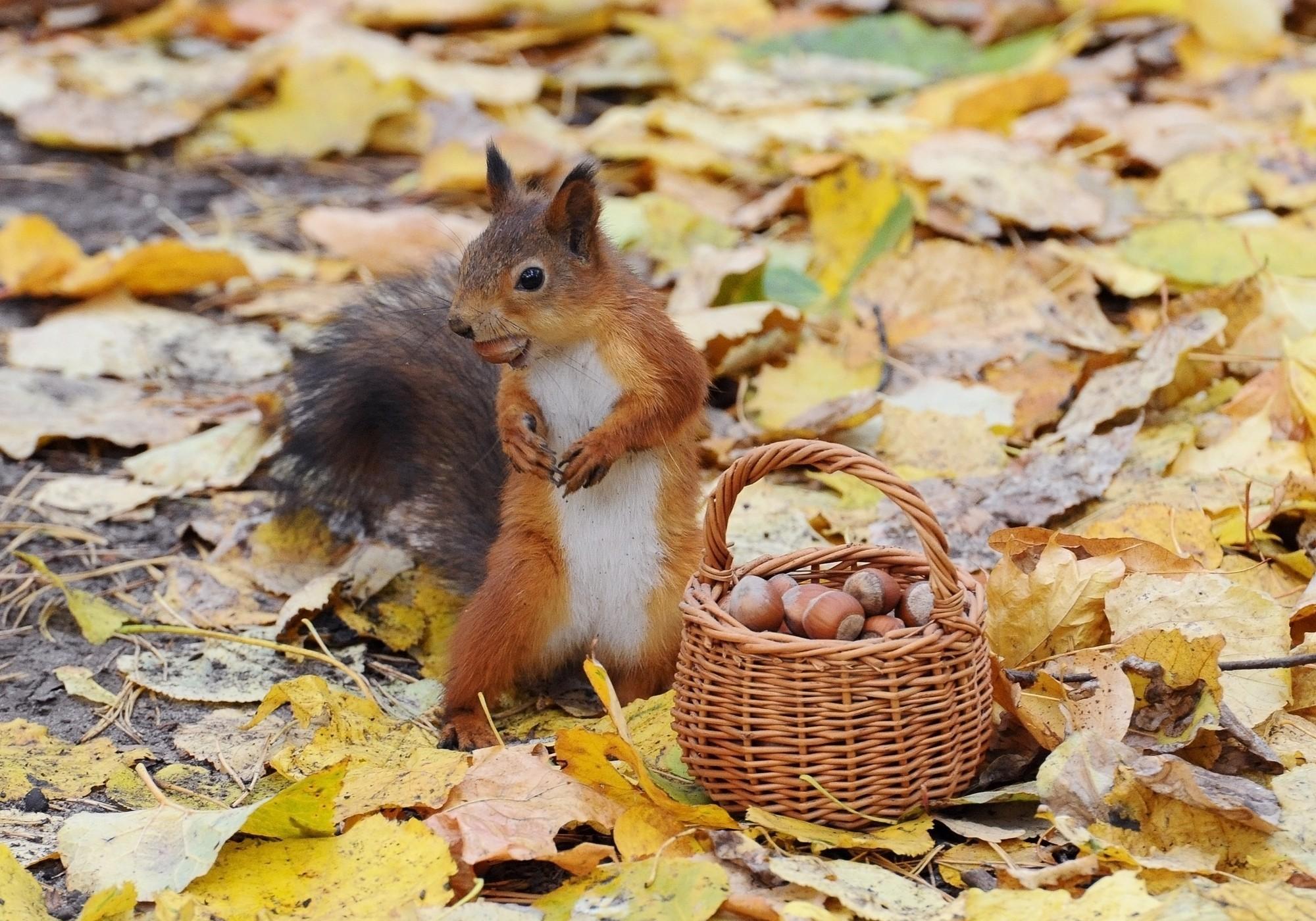 Res: 2000x1400, Animal - Squirrel Basket Nut Leaf Acorn Fall Wallpaper