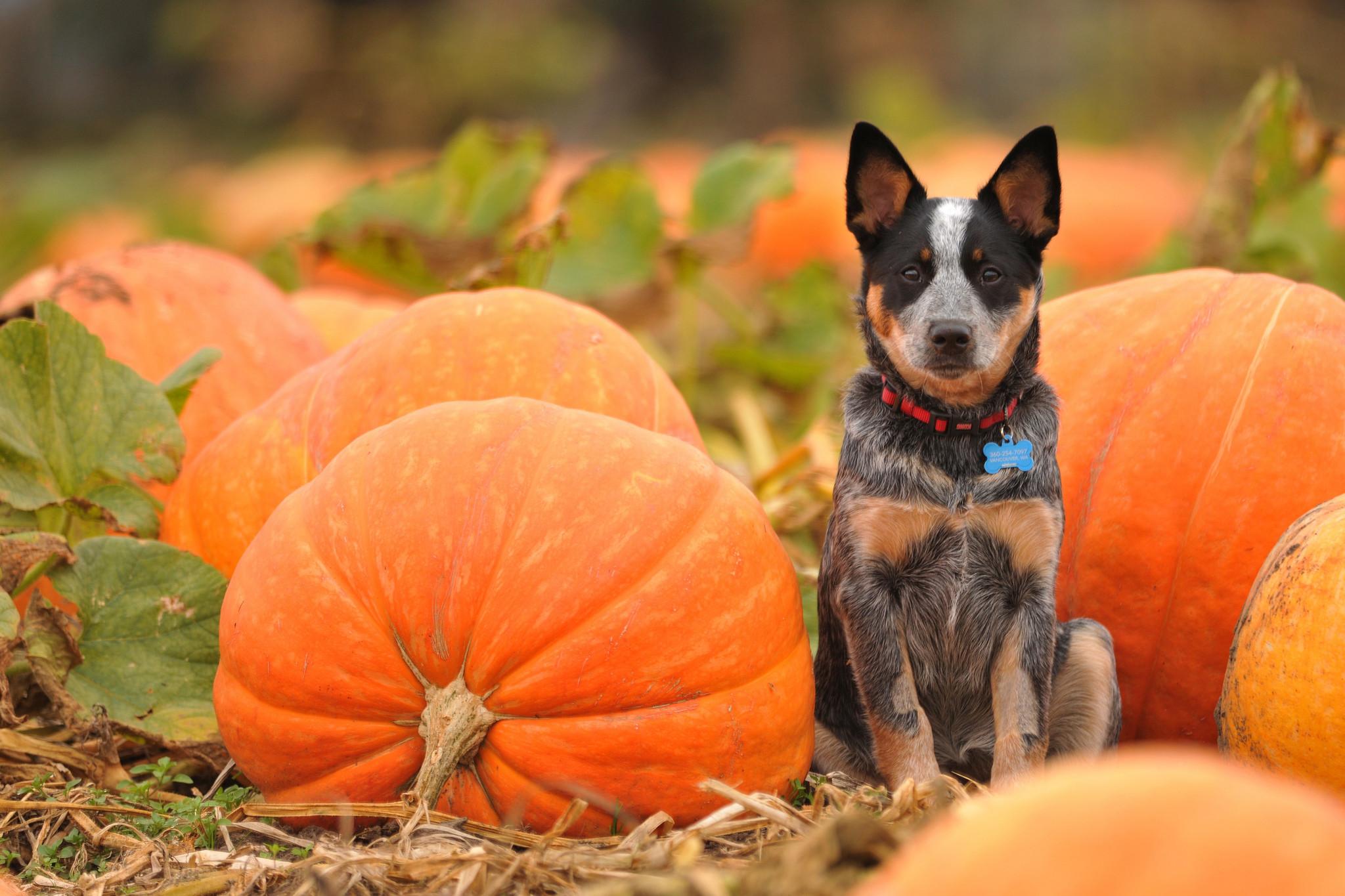 Res: 2048x1365, Dogs Pumpkin autumn halloween wallpaper |  | 195916 | WallpaperUP