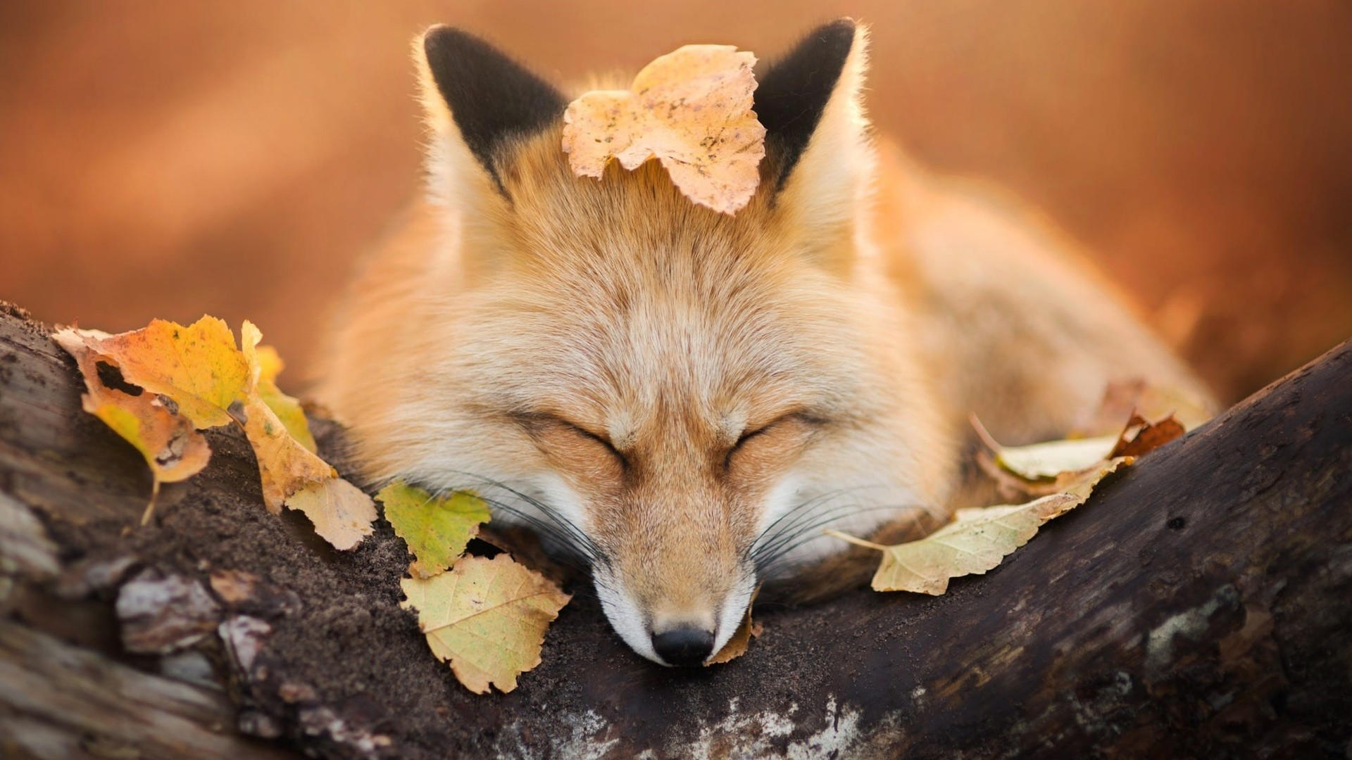 Res: 1920x1080, General  nature animals fox trees leaves fall depth of field  sleeping muzzles photography