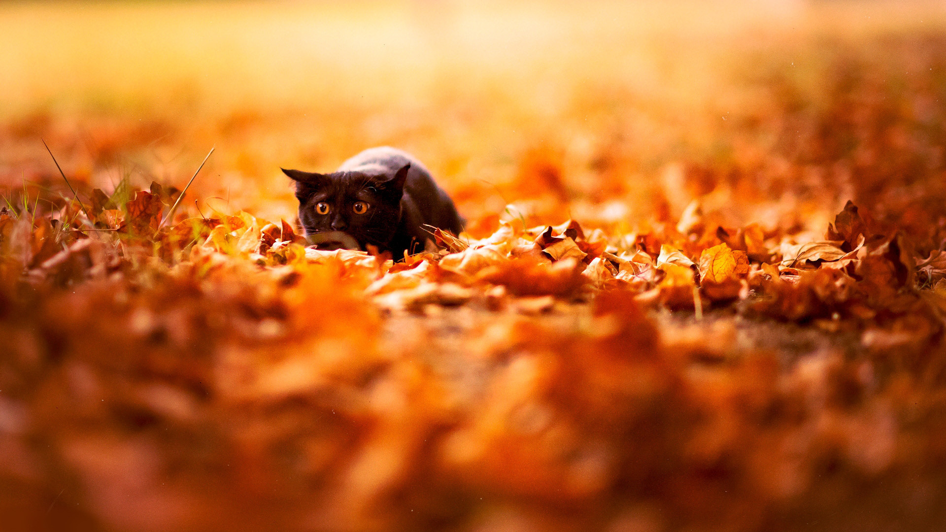Res: 1920x1080, Cat on Fall Leaves Wallpaper for iPhone Wallpaper