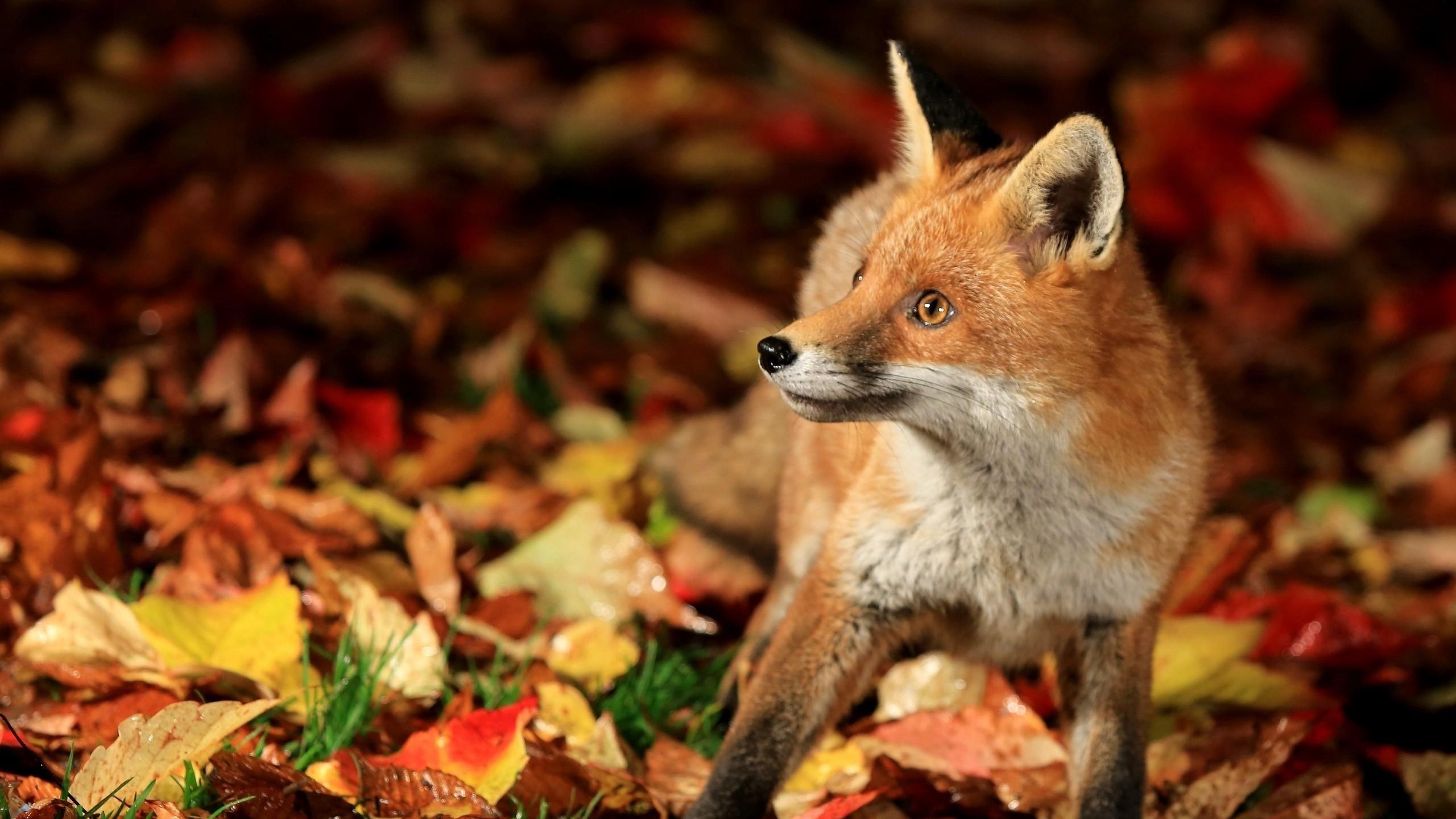 Res: 2560x1440,  Wallpaper fox, walk, leaves, fall, fear