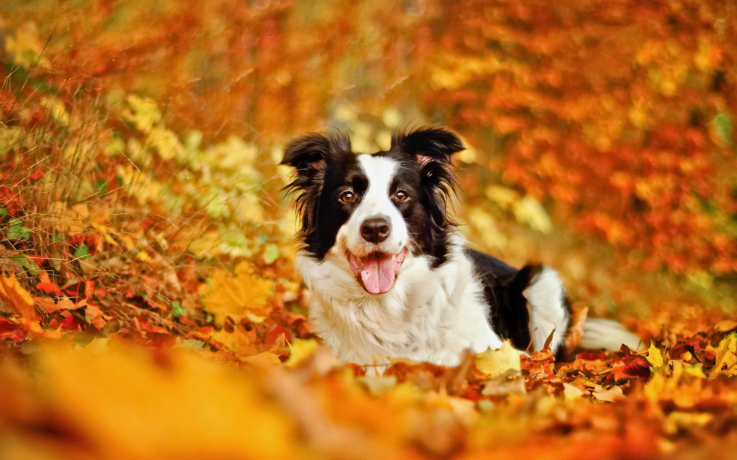 Res: 2560x1600, Download  border collie, dog, leaf, autumn, bokeh, fall, animals  Wallpapers