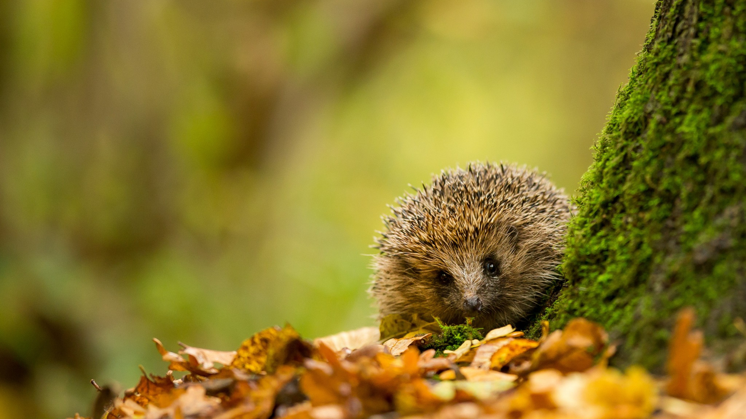 Res: 2560x1440, Download  hedgehog, fall, animals, autumn, leaf, nature Wallpapers