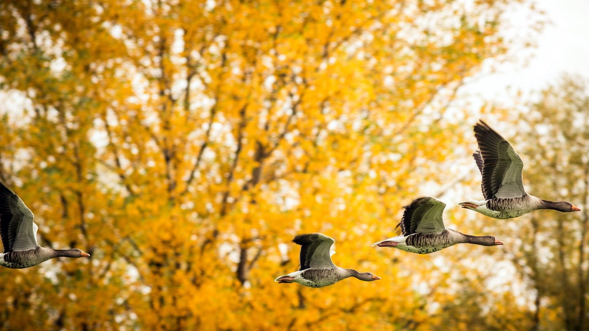 Res: 1920x1080, Ducks Birds Fall Nature