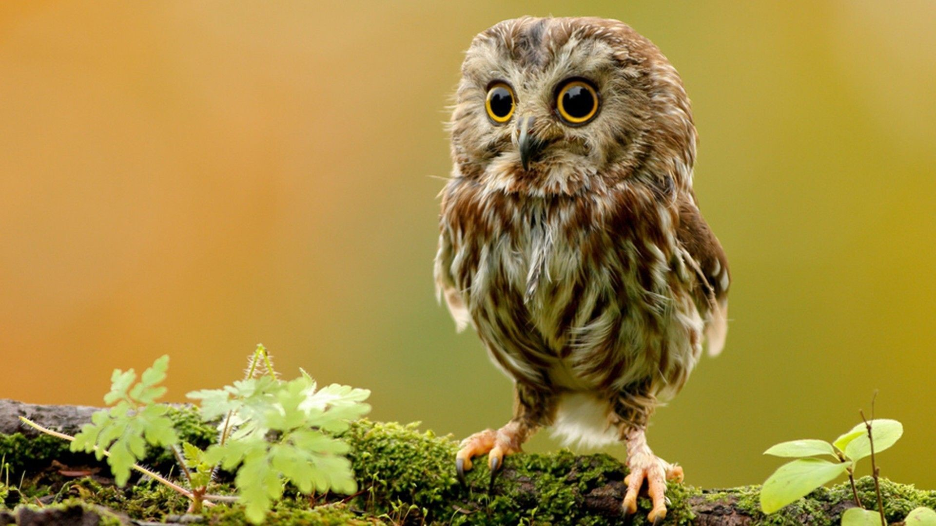 Res: 1920x1080, Animal Cute Owl Wallpaper Real Simple Classic Plant Green Adjustable Tree  Motive