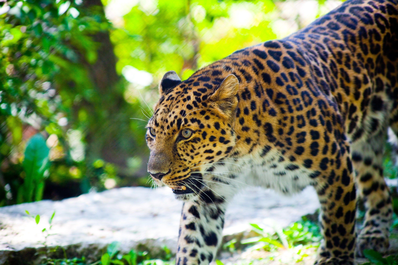 Res: 3000x2000, free high resolution wallpaper leopard,  (1304 kB)